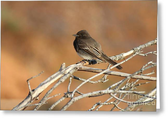 Phoebe Greeting Cards - Black Phoebe . 7D11008 Greeting Card by Wingsdomain Art and Photography