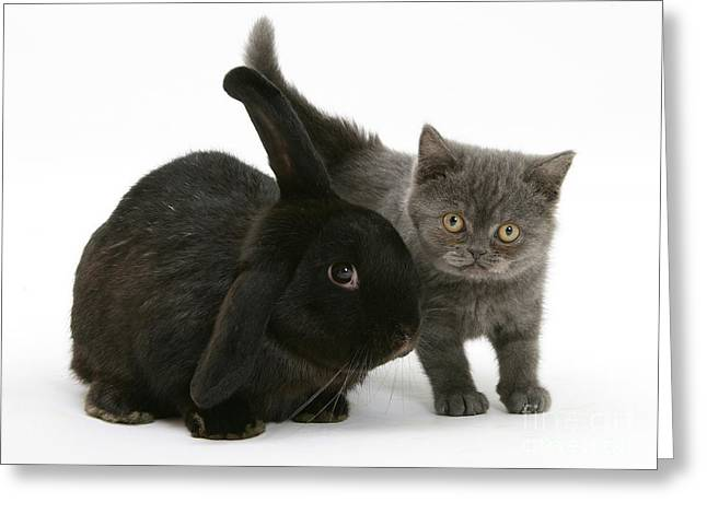 House Pet Greeting Cards - Black Rabbit And Gray Kitten Greeting Card by Mark Taylor