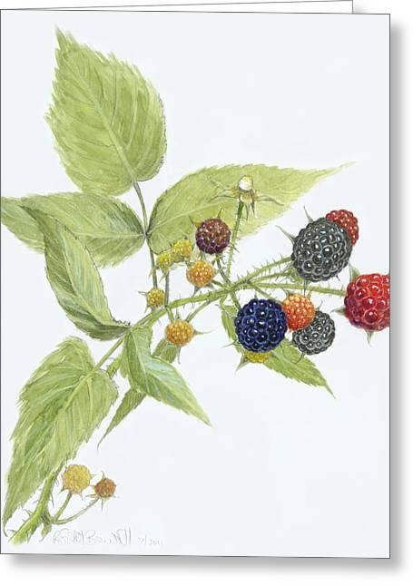 Raspberry Drawings Greeting Cards - Black Raspberries Greeting Card by Scott Bennett