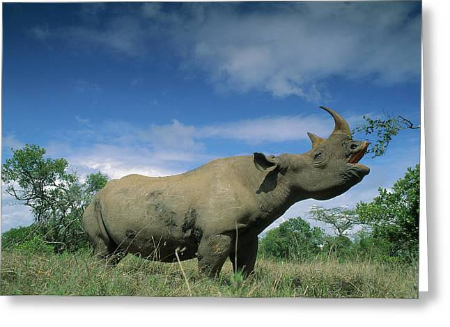 Ai Greeting Cards - Black Rhinoceros Diceros Bicornis Greeting Card by Ferrero-Labat