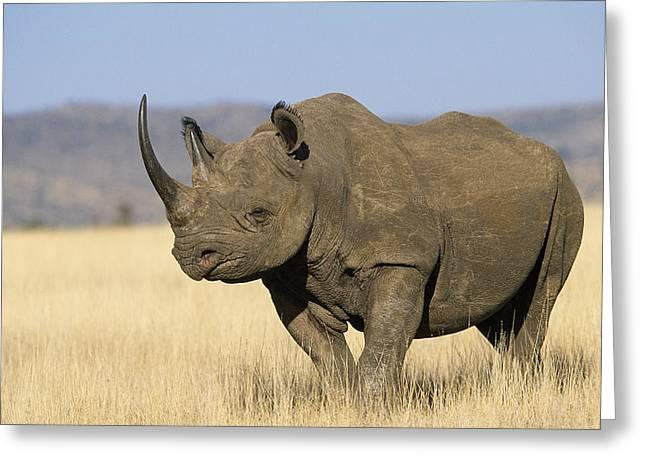 Rhinocerotidae Greeting Cards - Black Rhinoceros Diceros Bicornis Greeting Card by Winfried Wisniewski
