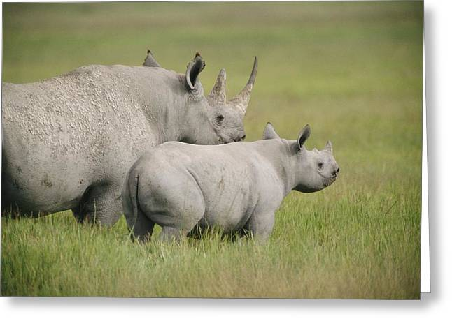 Rhinoceros Greeting Cards - BLack rhinoceroses in Greeting Card by National Geographic