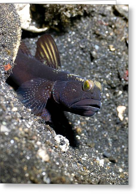 Goby Greeting Cards - Black Shrimp Goby Greeting Card by Peter Scoones