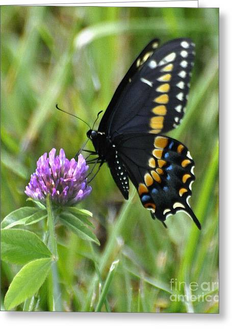 Black Berries Greeting Cards - Black Swallow Tail on Clover Greeting Card by Diane E Berry