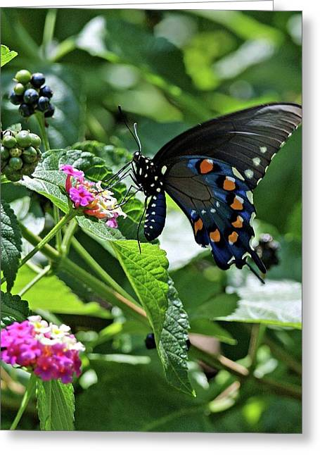 Indiana Art Greeting Cards - Black Swallowtail Butterfly Greeting Card by Sandy Keeton