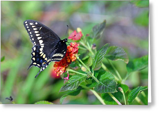 Kay Lovingood Greeting Cards - Black Swallowtail Greeting Card by Kay Lovingood