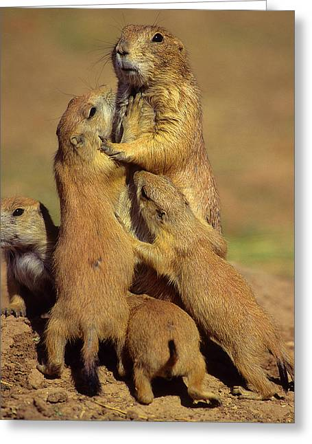 Bonding Greeting Cards - Black-tailed Prairie Dogs Greeting Card by Tony Beck