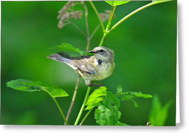 Wood Warbler Greeting Cards - Black-throated Blue Warbler Looking Back Greeting Card by Alan Lenk