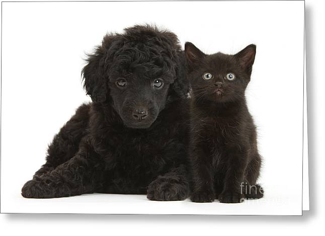 Puppies Photographs Greeting Cards - Black Toy Poodle And Black Kitten Greeting Card by Mark Taylor
