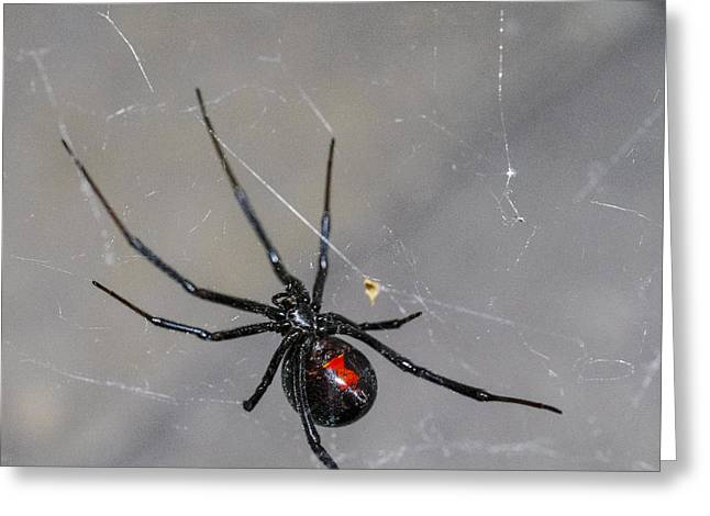 Spider Greeting Cards - Black Widow Spider Greeting Card by Scott McGuire