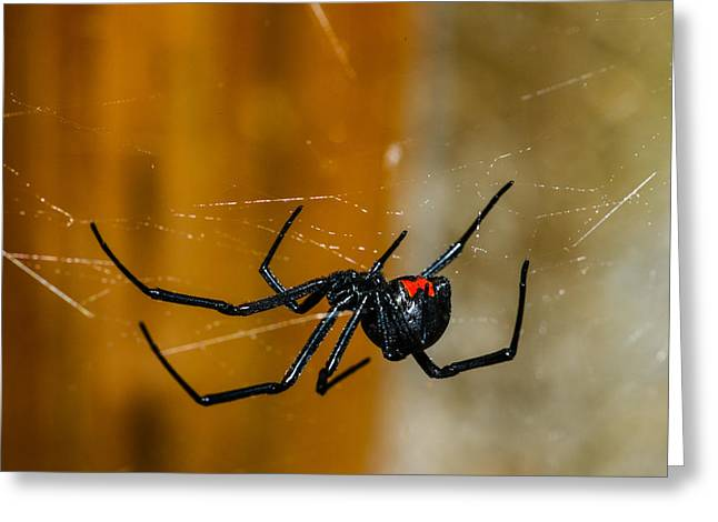 Black Widow Photographs Greeting Cards - Black Widow Trap Greeting Card by David Waldo