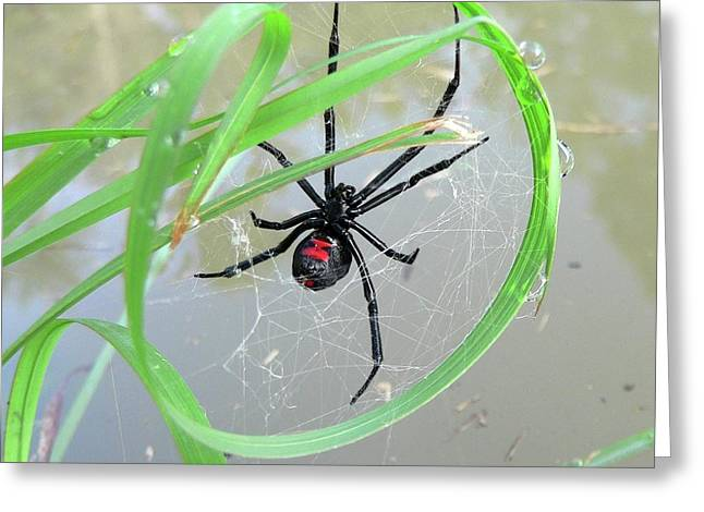 Black Widow Spider Greeting Cards - Black Widow Wheel Greeting Card by Al Powell Photography USA