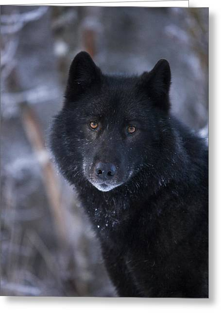 Furry Coat Greeting Cards - Black Wolf Portrait Greeting Card by John Hyde - Printscapes