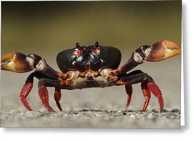 Zapata Greeting Cards - Blackback Land Crab Gecarcinus Greeting Card by Pete Oxford
