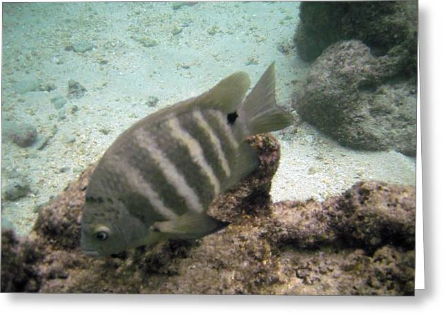 Damselfish Greeting Cards - Blackspot Sergent  Greeting Card by Michael Peychich