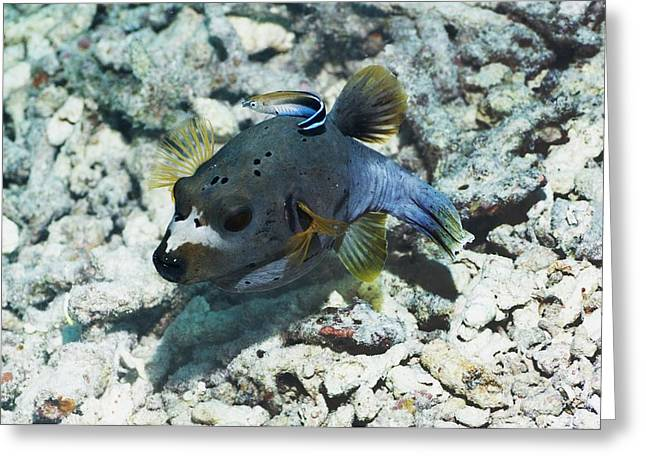 Balloonfish Greeting Cards - Blackspotted Puffer Greeting Card by Georgette Douwma
