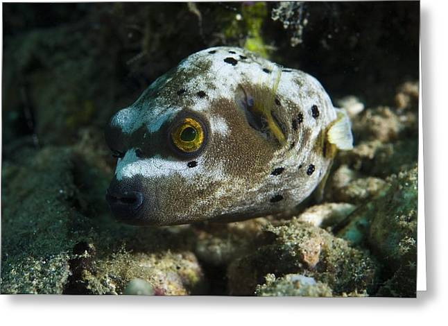 Underwater Dog Greeting Cards - Blackspotted Puffer Greeting Card by Matthew Oldfield
