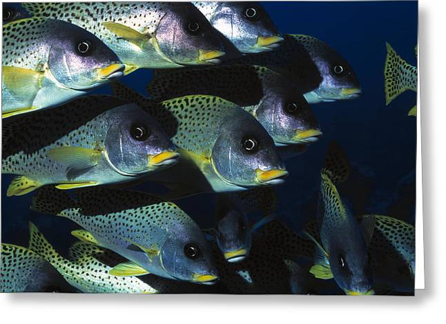 Blackspotted Rubberlip Fish Greeting Card by Georgette Douwma