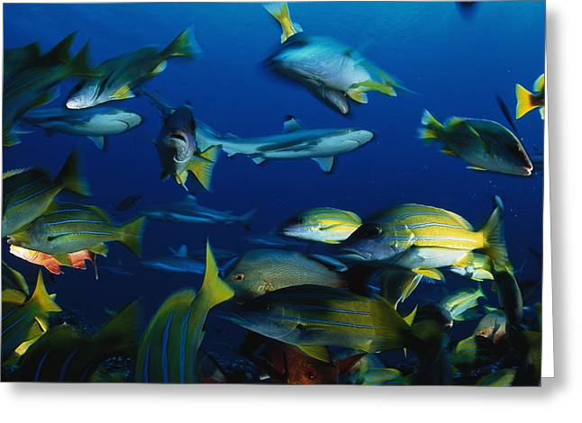 Grunts Greeting Cards - Blacktip Reef Sharks And Blue Striped Greeting Card by David Doubilet