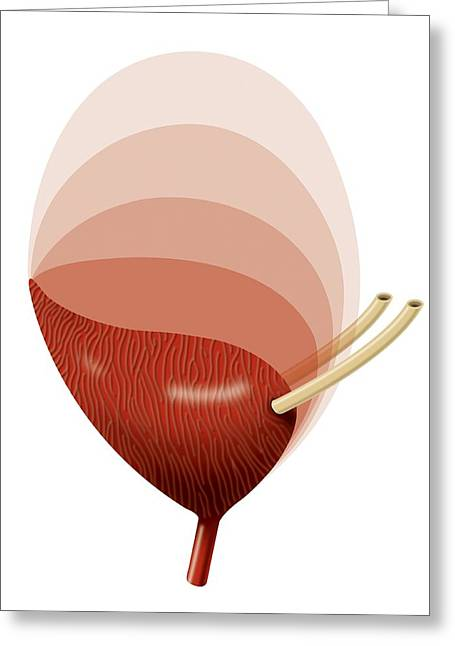 Urinating Greeting Cards - Bladder Expansion, Artwork Greeting Card by Art For Science