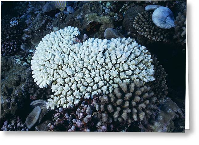 Temperature Greeting Cards - Bleached Coral Greeting Card by Alexis Rosenfeld