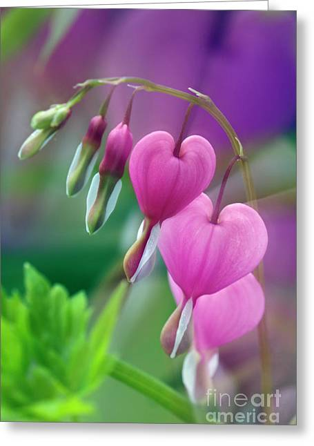Perrenials Greeting Cards - Bleeding Heart - D005135 Greeting Card by Daniel Dempster