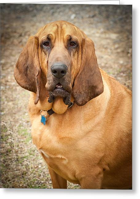 Slobber Greeting Cards - Blood Hound Greeting Card by Joye Ardyn Durham