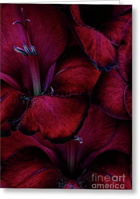 Gladiolas Greeting Cards - Blood Red Gladioli Greeting Card by Ann Garrett