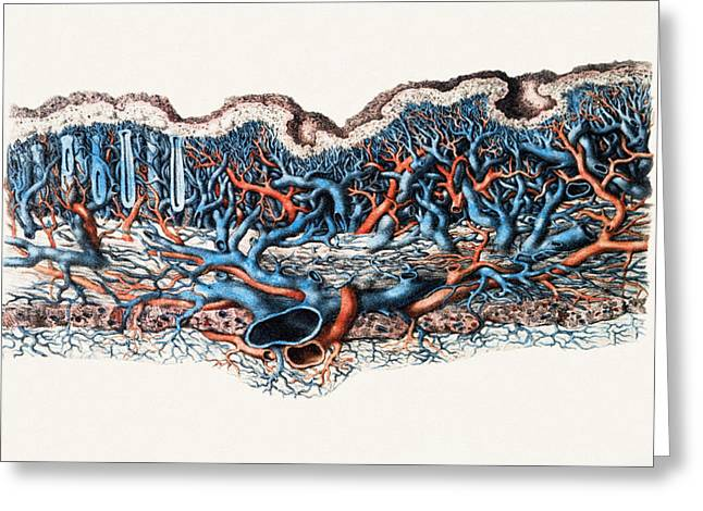 Historical Images Greeting Cards - Blood Vessels In Stomach Wall Greeting Card by Mehau Kulyk