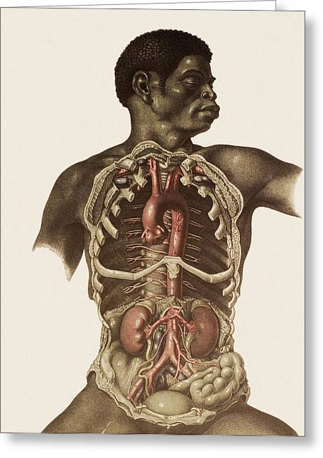 Historical Images Greeting Cards - Blood Vessels Of The Thorax And Abdomen Greeting Card by Mehau Kulyk