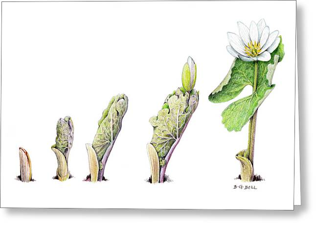 Betsy Gray Bell Greeting Cards - Bloodroot Unfolding II Greeting Card by Betsy Gray