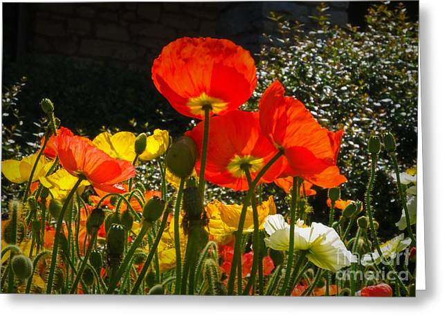 March 2012 Greeting Cards - Bloomin Poppies Greeting Card by Fred Lassmann