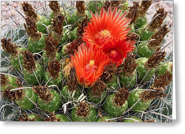 Giclee Cactus Greeting Cards - Blooming Cactus Greeting Card by Suzanne Gaff