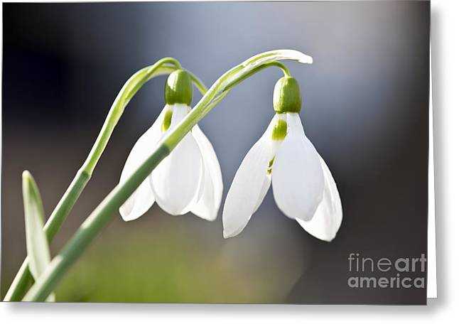 Flowering Greeting Cards - Blooming snowdrops Greeting Card by Elena Elisseeva