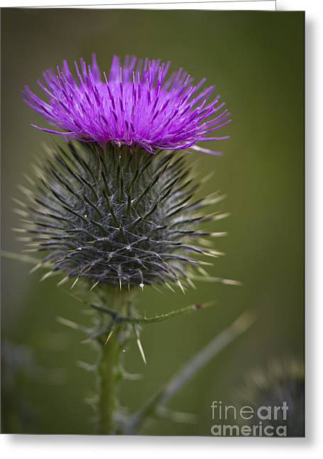 Bambers Greeting Cards - Blooming Thistle Greeting Card by Clare Bambers