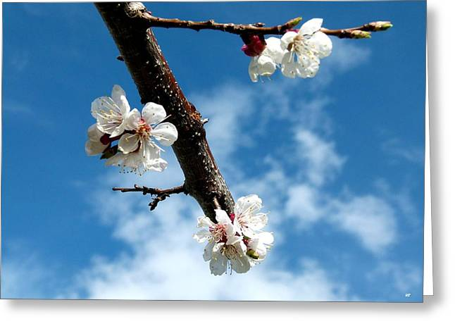 Apricot Greeting Cards - Blossoming Apricot Greeting Card by Will Borden
