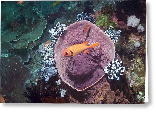 Reef Fish Greeting Cards - Blotcheye Soldierfish On A Reef Greeting Card by Georgette Douwma