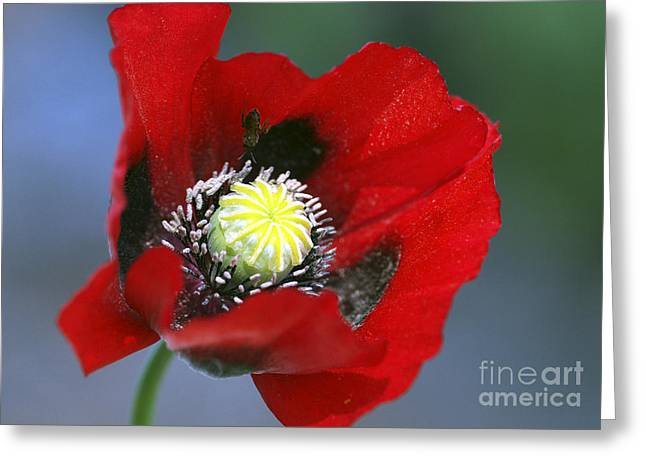 Oriental Poppy. Greeting Cards - Blowin in the Wind Greeting Card by Sharon  Talson