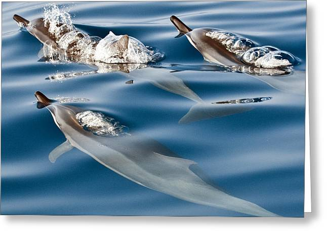 Spinner Dolphin Greeting Cards - Blowing Bubbles Greeting Card by Jim Chamberlain
