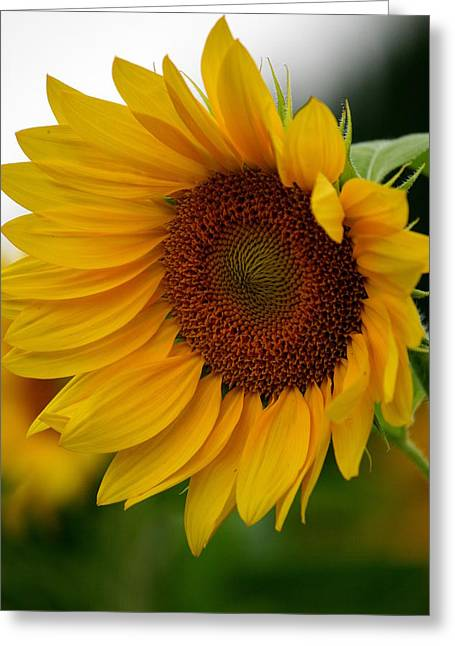 Sunflowers Greeting Cards - Blown Away  Greeting Card by Neal  Eslinger