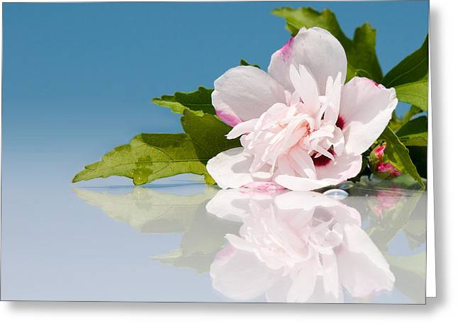 Pink Althea Greeting Cards - Blue and White Greeting Card by Sari ONeal
