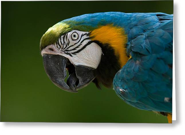 Blue And Yellow Macaw Greeting Cards - Blue And Yellow Macaw At The Omaha Zoo Greeting Card by Joel Sartore