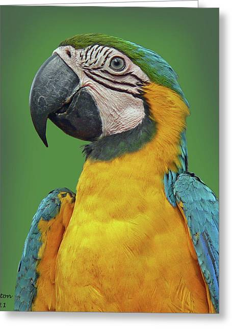 Blue And Yellow Macaw Greeting Cards - BLUE-and-YELLOW MACAW Greeting Card by Larry Linton