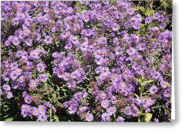 Green Day Greeting Cards - Blue Asters 2001 Fall Greeting Card by Tim Donovan