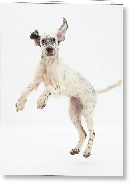 Canid Greeting Cards - Blue Belton English Setter Greeting Card by Mark Taylor