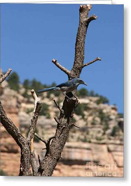 Audrey Campion Greeting Cards - Blue Bird Grand Canyon National Park Arizona Usa Greeting Card by Audrey Campion