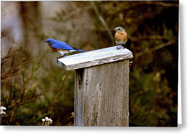 Blue Birds Greeting Card by Todd Hostetter