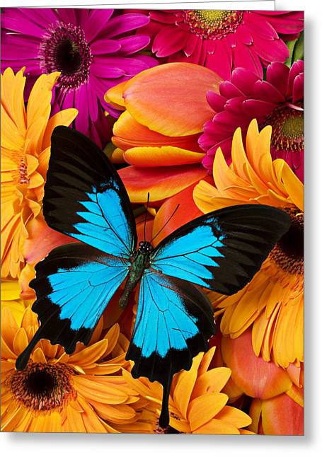 Blue Butterfly Greeting Cards - Blue butterfly on brightly colored flowers Greeting Card by Garry Gay