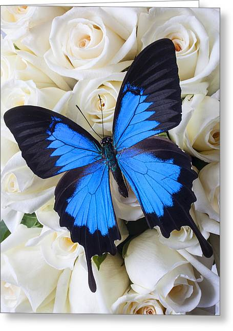 Cheerful Photographs Greeting Cards - Blue butterfly on white roses Greeting Card by Garry Gay