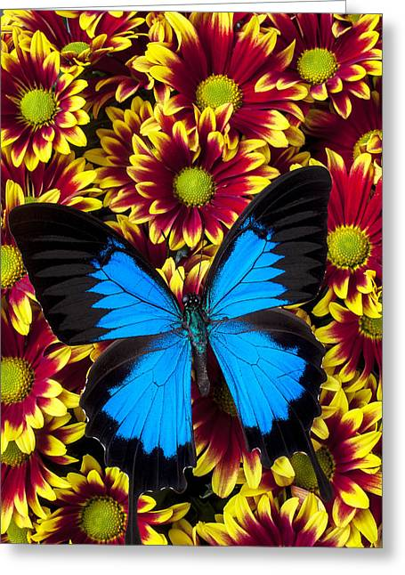 Antenna Greeting Cards - Blue butterfly on yellow red mums Greeting Card by Garry Gay